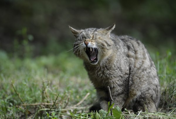 THE FATE OF MANKIND RESTS ON THE FELINE WITH TEETH OF STEEL